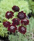 Scabiosa Seeds - Red,Flowers seeds,commonly known as Pincushion Flower.