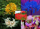 10 Bulbs, Lycoris Radiata, Spider lily, Lycoris Bulbs, Rare Bulb,Hot,Most Wanted