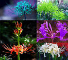 Most Wanted, 10 Bulbs, Lycoris Radiata, Spider lily, Lycoris Bulbs, Rare Bulbs