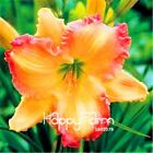 Day Lily Seeds Hemerocallis Lily Flowers Indoor Bonsai Home Garden Plant 100 pcs