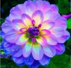 Dahlia Flower Seeds Colorful Dahlias Seeds DIY Home Garden Potted Plants 20pcs