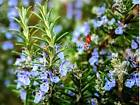 Rosemary Herb Seeds Pick 160 to 2 OZ FREE SHIP Buy Bulk & Save Aromatic USA 148