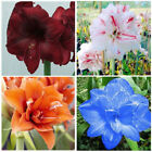 2 Pcs Amaryllis Bulbs Hippeastrum Home Balcony Garden Flower Plants Seeds IK_