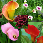 Calla Lily Bulbs, Not Seeds, Home And Garden Plants, 10 RARE Bulbs, True Bulbs