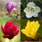 20 seeds of Magnolia flower tree blossom red yellow purple white pink