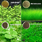 Внешний вид - Anubias Aquarium Plant Seeds Water Aquatic Plant Love Grass Seeds Fish Tank Aqua