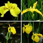 Heirloom Flower Seeds Iris Pseudacorus Beard Irises German Iris 10/20/50 pcs B0N