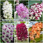 "Внешний вид - Rhynchostylis gigantea Orchid Plants Size 1"" In Pot Orchid Plant From Thai"