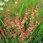 Sheep Sorrel Seeds (Rumex acetosella) FROZEN SEED CAPSULES
