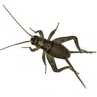 Kyпить 100, 250, 500, 1000+ Live Crickets (Banded) - Guaranteed Live Delivery Over 25 F на еВаy.соm