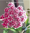 Hoya young house plant or unrooted cutting <br/> Free cuttings, Details in the description