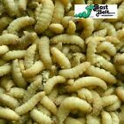 Live Waxworms, Wax worms Fishing, Reptile Feeders,  Free Shipping