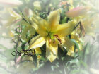 Soft Yellow Lily Matted Picture Art Print Cottage Chic Home Decor A427