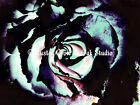 Modern Blue Rose Matted Picture Art Print Home Decor A443