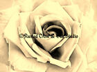 A Simple Rose (Choose Color and Size )Matted Picture Fine Art Print A226
