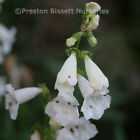 Penstemon Wedding Day Perennial Plant
