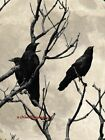 Three Crows on Branch against Moon Matted Picture Fine Art Print A646