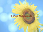 Dreamy Sunflower with Pretty Bokah Flower Original Signed Matted Picture A838