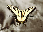 Beautiful Swallowtail Butterfly Original Signed Matted Picture Art Print A498