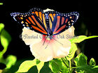Monarch Butterfly Hibiscus Flower Floral Home Decor Art Matted Picture Usa A358
