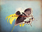 Black Butterfly on Yellow Coneflower Original Signed Handmade Photo Picture A206