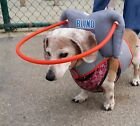 Muffin's Halo for Blind Dogs