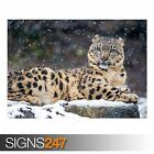 SNOW LEOPARD (3802) Animal Photo Picture Poster Print Art A0 A1 A2 A3 A4