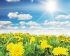New Sunflowers And Blue Sky Art Print Poster p0165