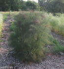 Bronze Fennel (Foeniculum vulgare) perennial herb and butterfly plant