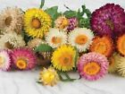 STRAWFLOWER - TALL DOUBLE MIX, Flowers Seeds