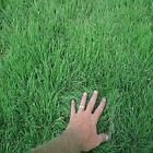 Buffalo Supreme grass seed,blend of Bowie Buffalo grass seed &Cody Buffalo grass