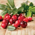 American Cranberry seeds - Vaccinium macrocarpon - used in a variety of sauces