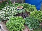 Hosta Seeds, American Crosses Mix ,wide range o fVariety, Prefect for shade.