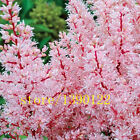 BEST 100pcs Astilbe seeds Astilbe Chinensis Pumila Bonsai Flower seeds Perennial
