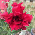 Mature Adenium Obesum Desert Rose Plants Double-flowered Easy Care Bonsai