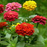 Amazing 400pcs Light Flor Mixed Zinnia Semillas Seed Multiple Layer New Pop
