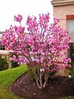 30 pcs/bag magnolia seeds beautiful flower tree seeds magnolia plants in pot