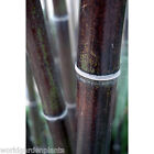 Black Bamboo Plants, Bamboo Nigra, Black stemmed bamboo plants & Free P&P. AGM
