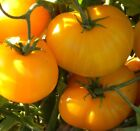USA HEIRLOOM Organic Giant Belgium Yellow Tomato 25 200 seeds 2 pounder
