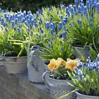 Fantastic Garden Flowers Bulbs Van Zyverden Grape Hyacinths Seeds For Containers