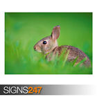 BABY HARE (AE919) - Photo Picture Poster Print Art A0 A1 A2 A3 A4