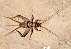 Live Crickets - 500 Count All Sizes $19.99 Free Shipping Bulk Insects