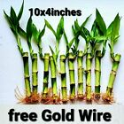 Lucky Bamboo Plants, Personal Christmas Gift, Feng Shui, Free Shipping