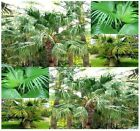 BULK x Livistona chinensis, Chinese Fan Palm Tree - Fresh seeds Easy germination
