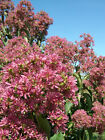 Seven Son Flower, Heptacodium miconioides, Tree Seeds (Fragrant, Fall Color)