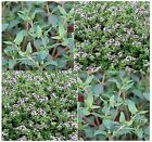 THYME HERB SEED - AROMATIC Dark Green Leaves - Purple Bloom - SPICES - - 85 Days