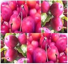 Ranetka Apple - Malus X Ranetka Tree Seeds - Bears Crabapples - Excellent Bonsai