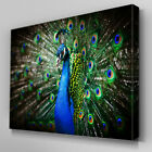 A141 Majestic Peacock Plumage Canvas Art Ready to Hang Picture Print
