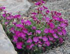 LARGE FLOWERED AUBRIETA x cultorum * ROYAL RED * HARDY GROUND COVER * SEEDS