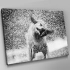 A574 Dog Shaking Of Water Black White Canvas Wall Art Animal Picture Large Print